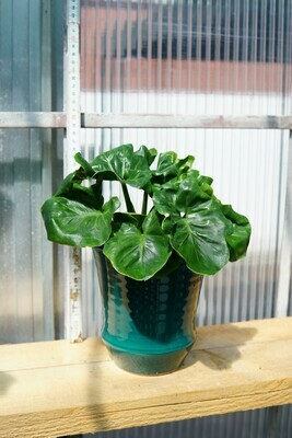 Philodendron | Atom