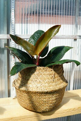 Philodendron | Imperial