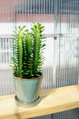 Euphorbia | Sonne