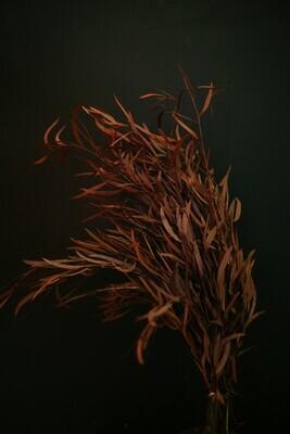 Eukalyptus | Nicoli