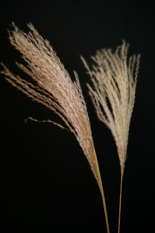 5 x Miscanthus | Natur