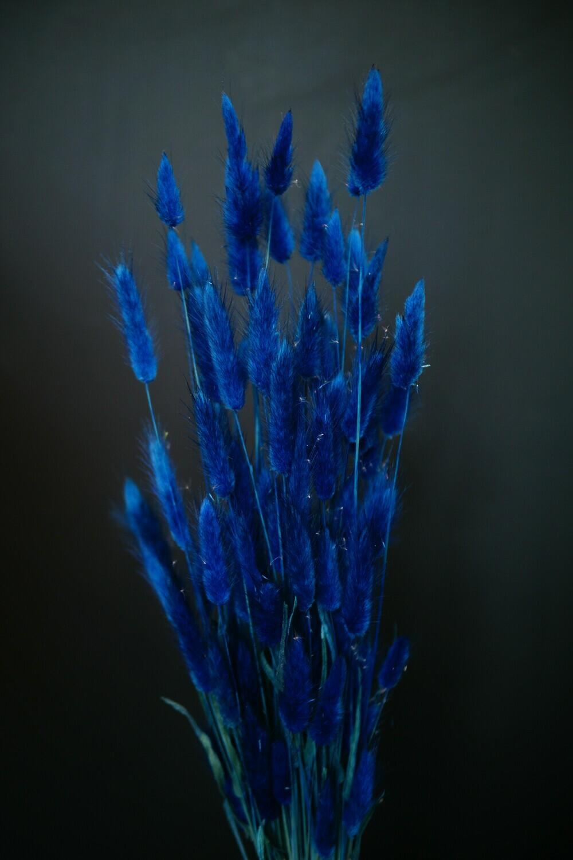 Lagurus | Dark Blue