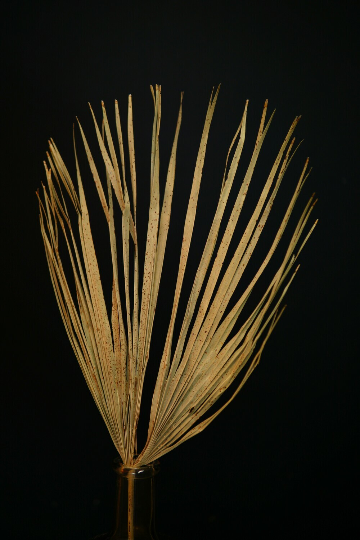 Palm Blatt | Braun