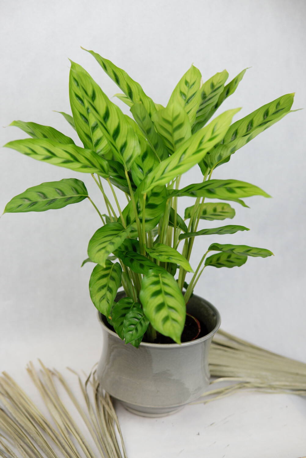 Calathea leopardina | Decorum