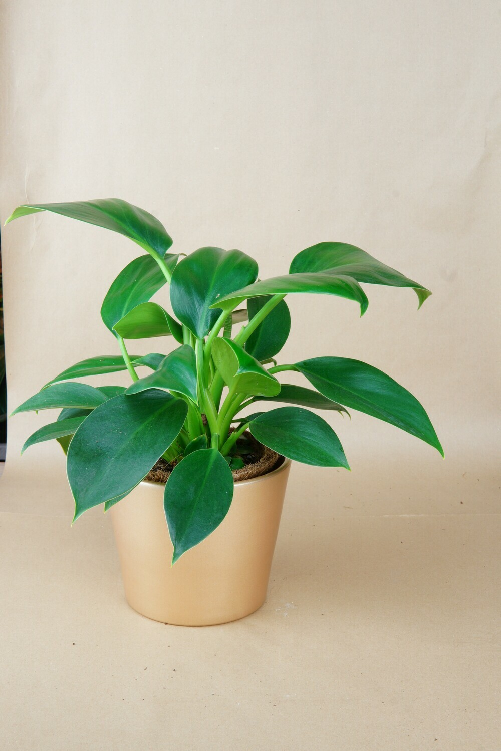 Philodendron | Green Wonder