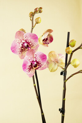 Orchidee | Cleopatra