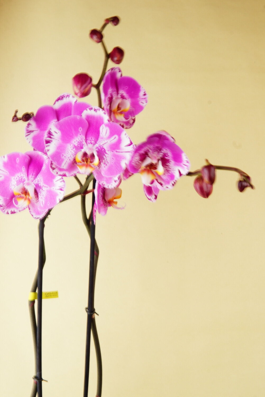 Orchidee | Bijoux Victorio