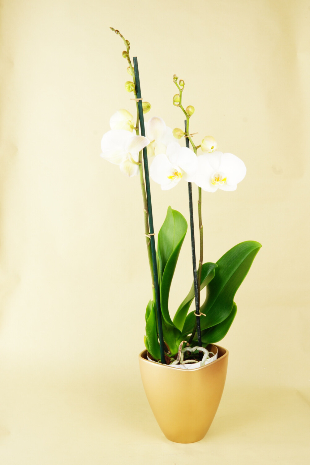 Orchidee | Dame Blanche