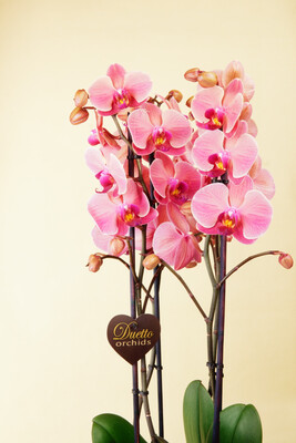 Orchidee   Manta More