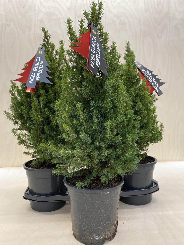 Zuckerhutfichte- Picea Glauca  Perfecta 60cm