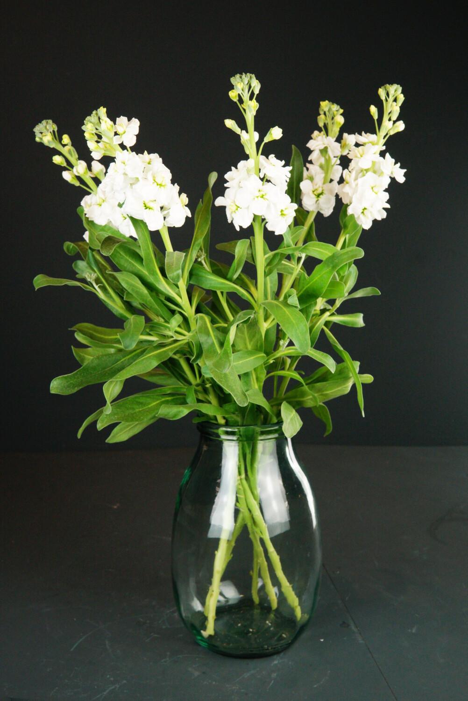 Levkoje | Weiß