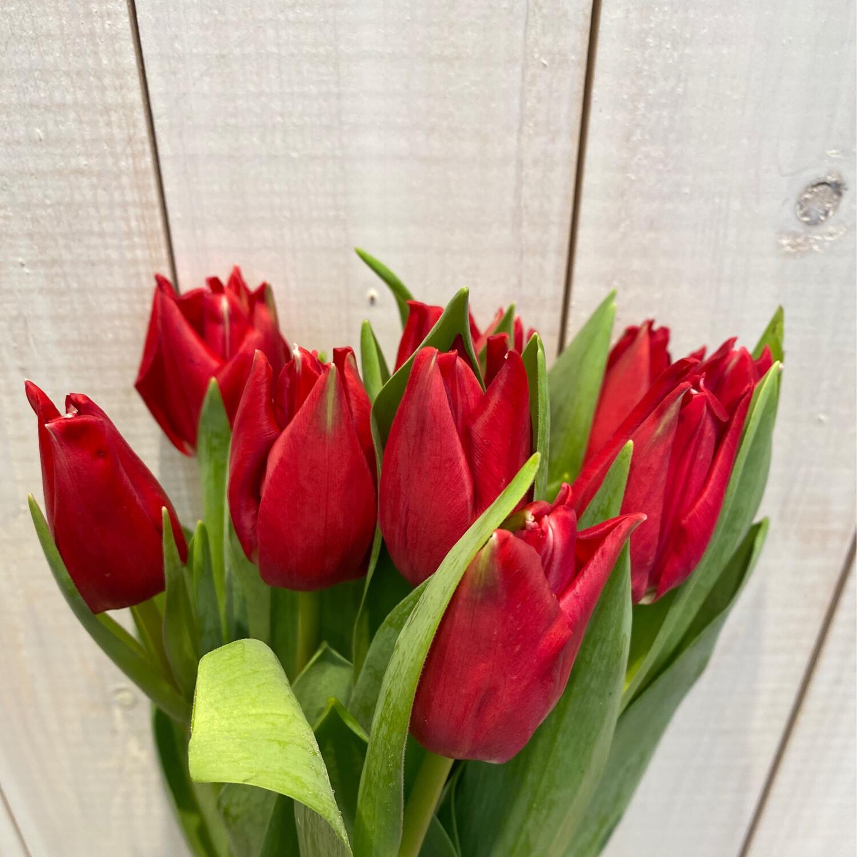 Tulpen rot 10 Stck.