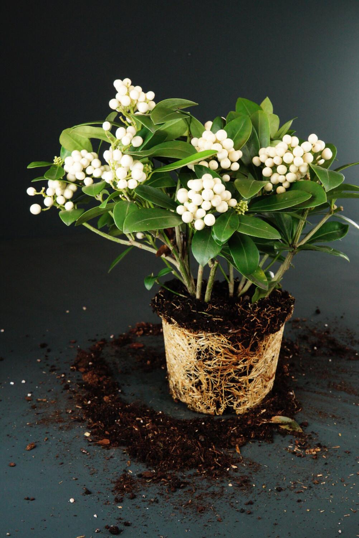 Skimmia japonica | Frucht