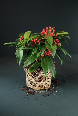 Skimmia japonica | Reevesiana