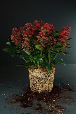 Skimmia japonica | Rubella
