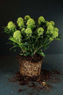 Skimmia japonica | Blüten