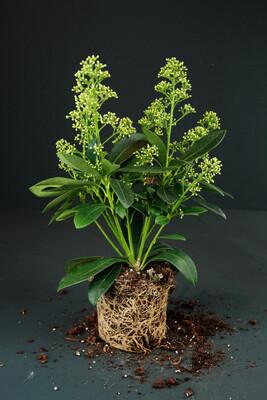Skimmia japonica | Finchy
