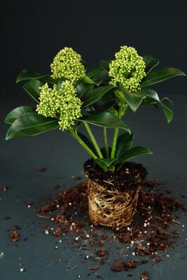 Skimmia japonica | Blüte | Mini