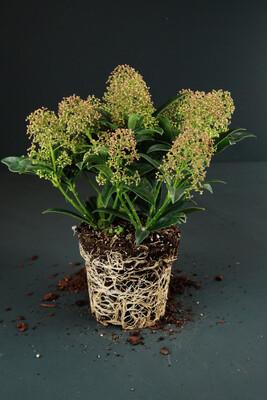 Skimmia japonica | Magic Marlot