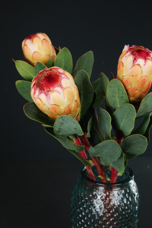 Protea | Grandicolor