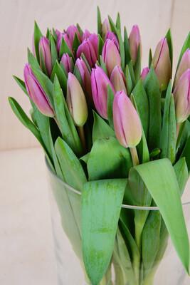 Tulpe | 50 Stiele | Rosa