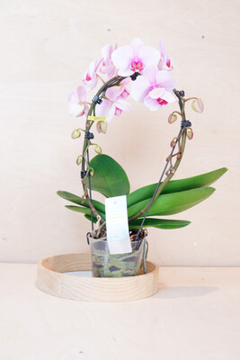 Orchidee am Ring, rosa/pink