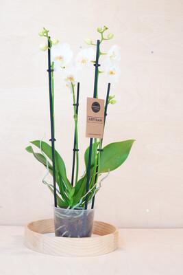 Orchidee 4 Triebe, weiß