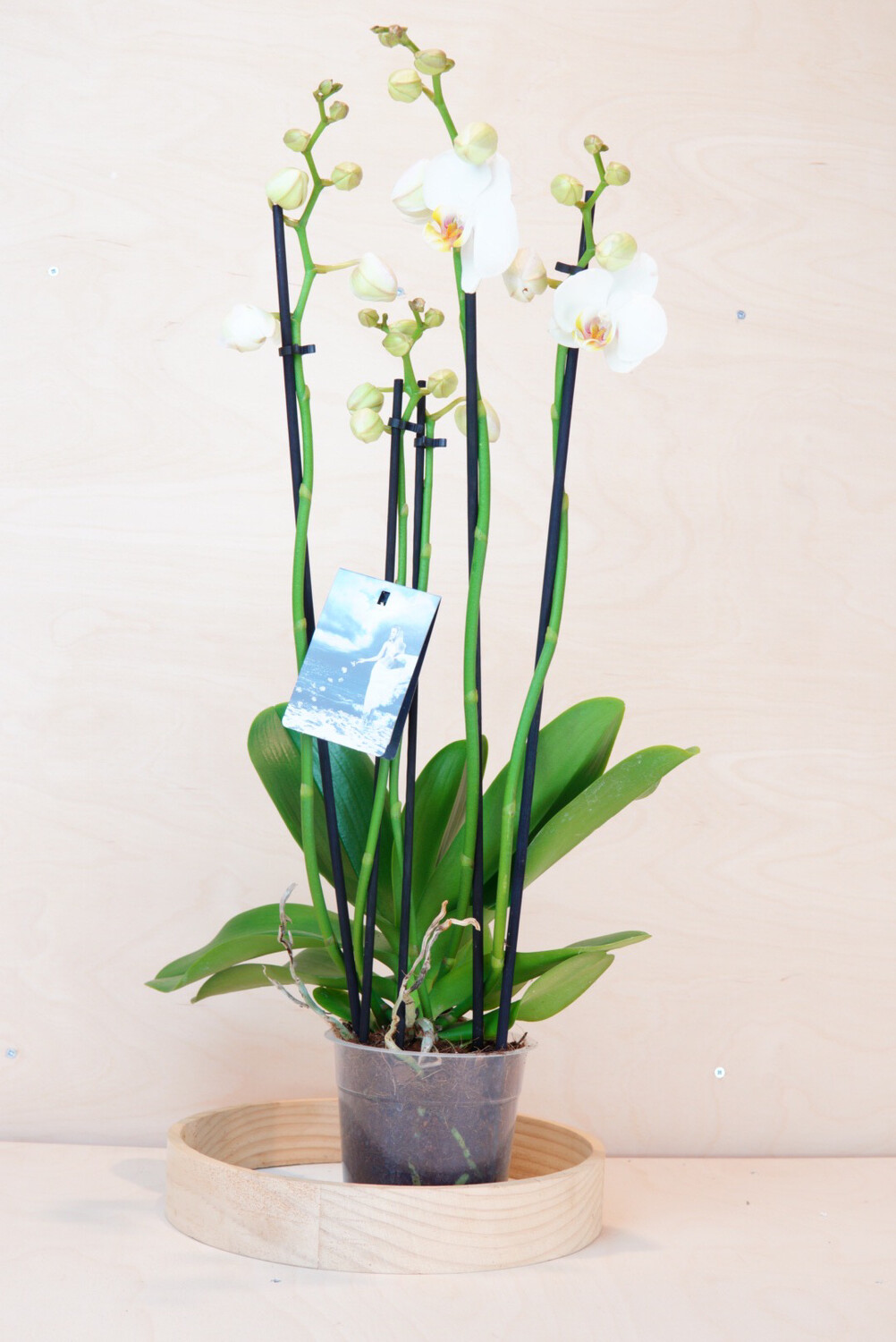 Orchidee 5 Triebe, weiss