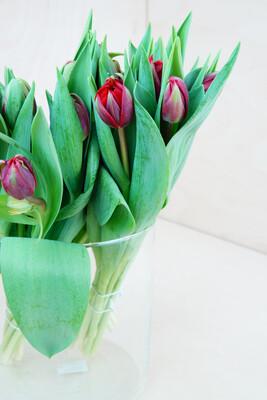 Tulpe | Red Princess | Rot Gefüllt