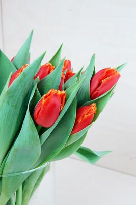Tulpe | Caecilia | Gefranst