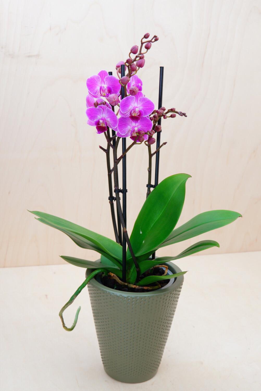 Orchidee | Multiflora Purple