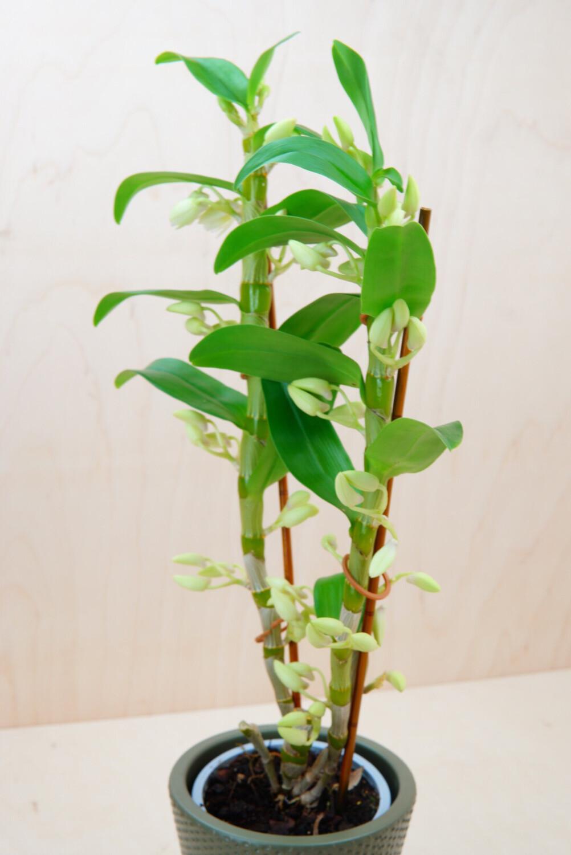Dendrobium | Apollon