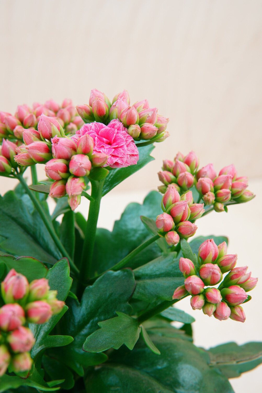 Kalanchoe   Brushed Pink