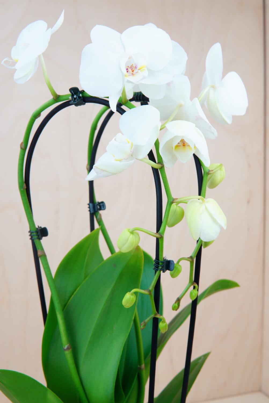 Orchidee | Cascade Pure Silk
