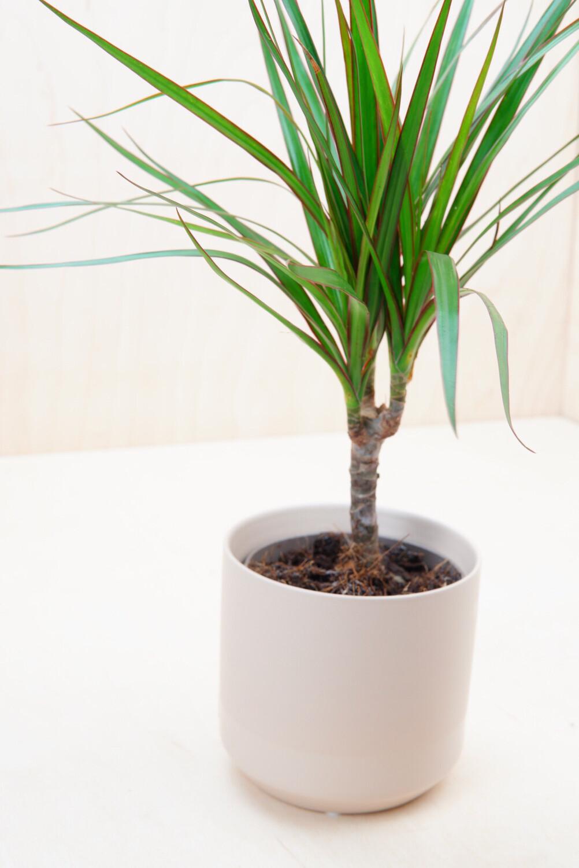 Drachenbaum | Mini