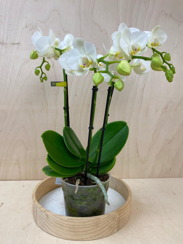 Orchidee, 3 Triebe weiß