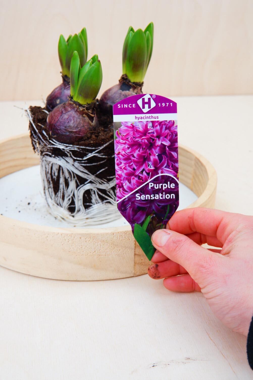 Hyazinthe | Purple Sensation