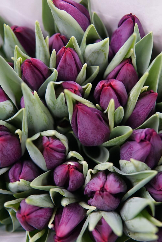 Tulpe | Lila