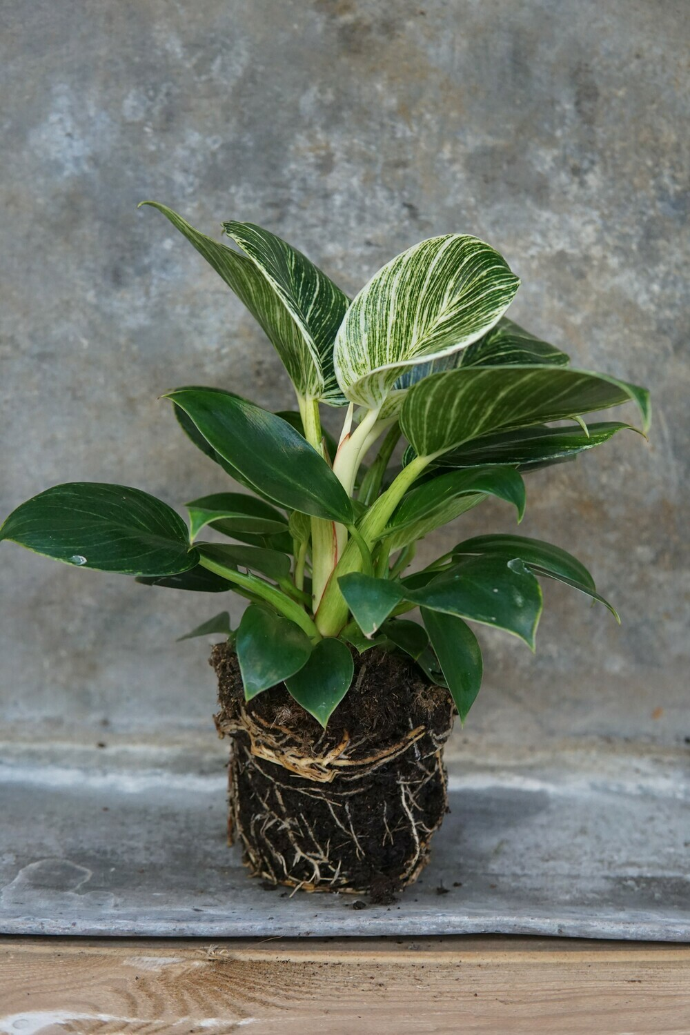 Philodendron | White Measure