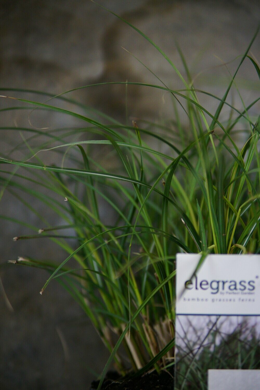 Miscanthus sinensis | Adagio