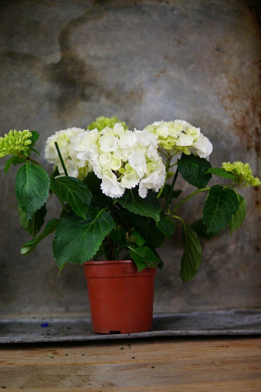 Hortensie   Medium   Weiß