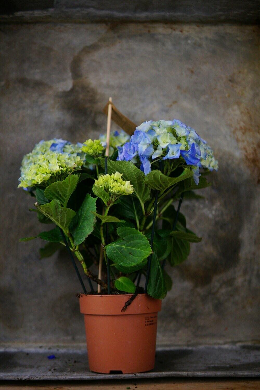 Hortensie | Medium | Blau