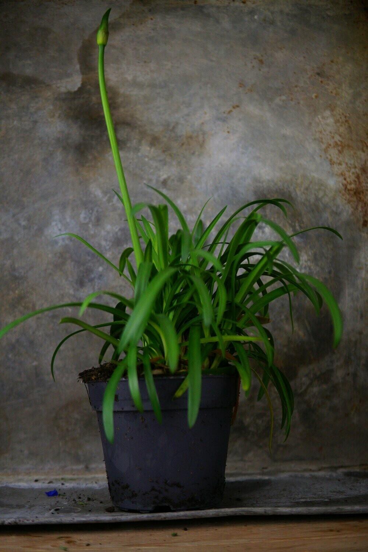 Schmucklilie   Agapanthus