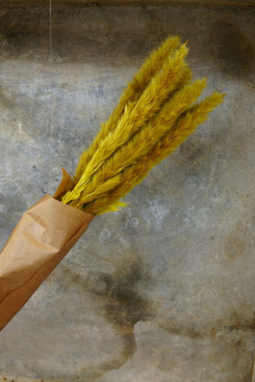 Pampasgras-Mini   Dusty Mustard