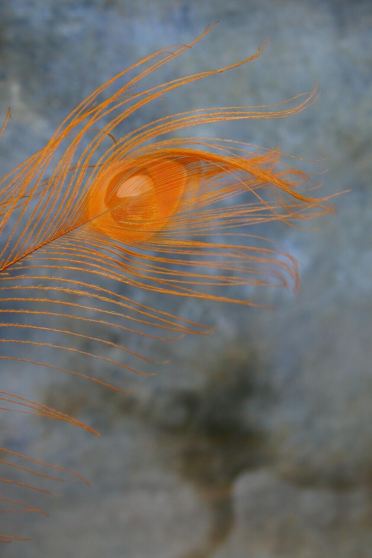 Pfauenfeder | Orange
