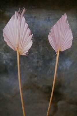 Palm-Speer   Blush