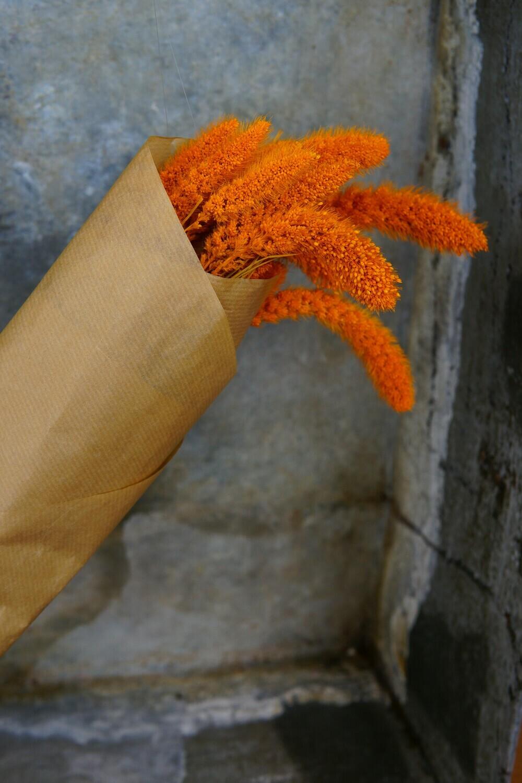 Setaria | Orange
