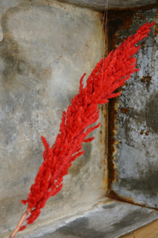 Pampasgras | Rot