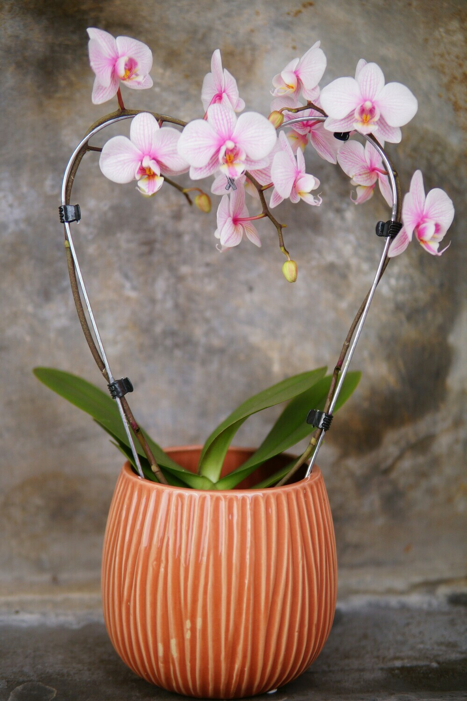 Orchidee   Herz