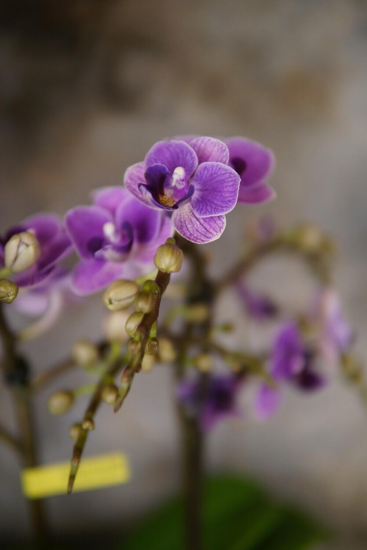 Orchidee   Milka
